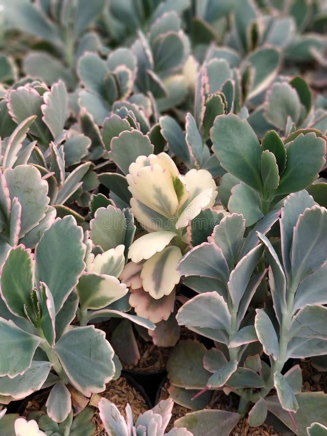 jeden mutacja tłustoszowate rośliny zdjęcia royalty free