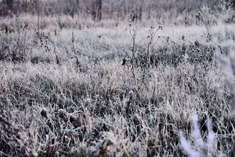 Jeden na trawie w mroźnym ranku przed wschodem słońca fotografia stock