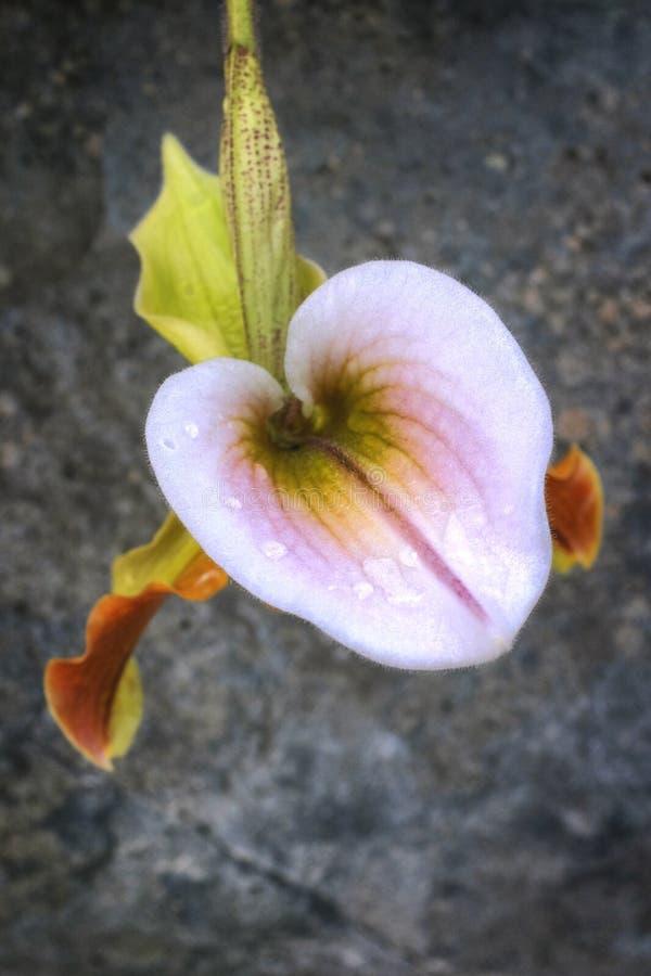 Jeden orchidea zdjęcia royalty free