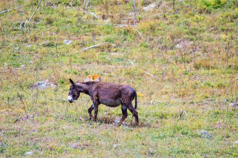 Jeden osły na kopu w łące w górach obraz stock