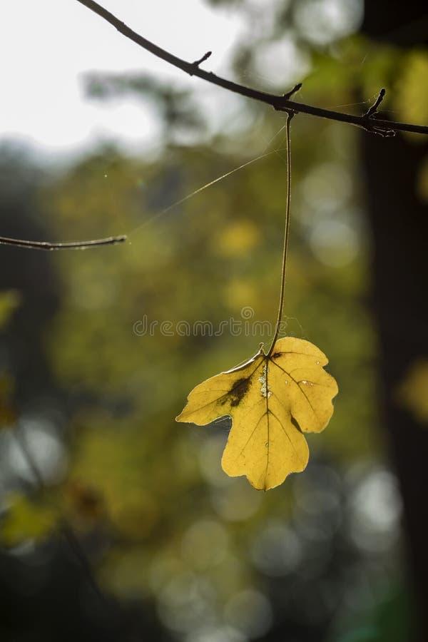 Jeden ostatni liście drzewo na gałąź fotografia royalty free