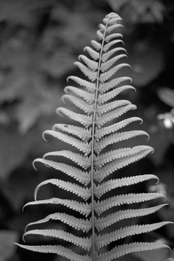 Jeden paprociowy liść w black&white zdjęcie stock