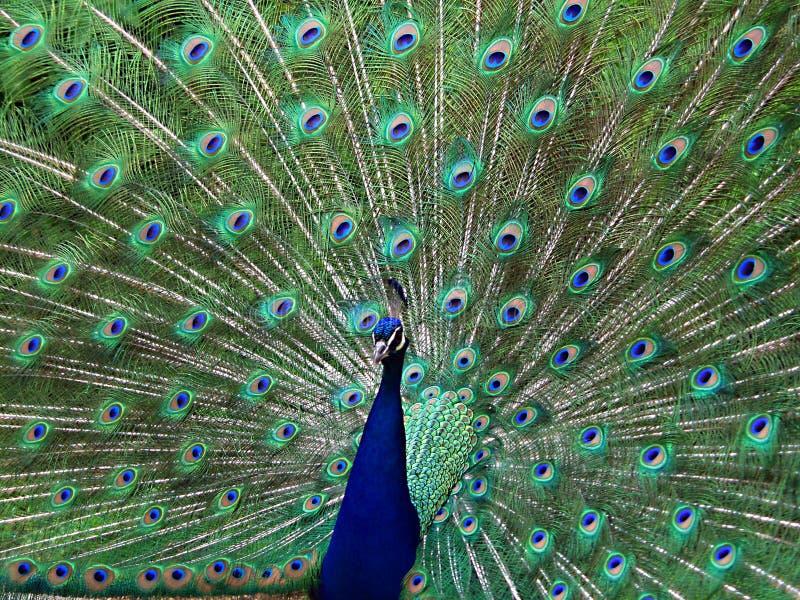 Download Jeden paw obraz stock. Obraz złożonej z piękny, zwierzę - 139301