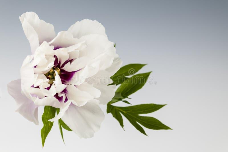 Jeden peonia kwiat zdjęcia stock