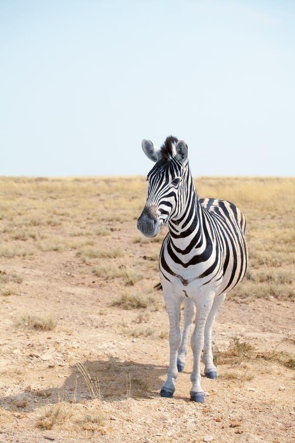 Jeden piękna zebra w sawannie na niebieskiego nieba tła zbliżeniu, safari w Etosha parku narodowym, Namibia, afryka poludniowa zdjęcia stock