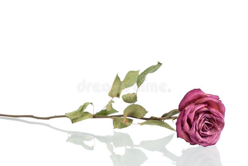 Jeden piękny Burgundy róży kwiat z długim trzonem i zielenią opuszcza na biały tło odizolowywającym zbliżeniu zdjęcia stock