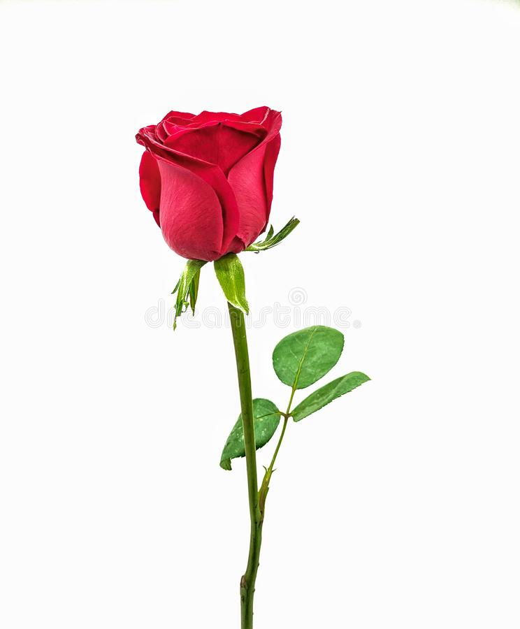 Jeden piękna jaskrawa czerwieni róża na białym tle fotografia royalty free