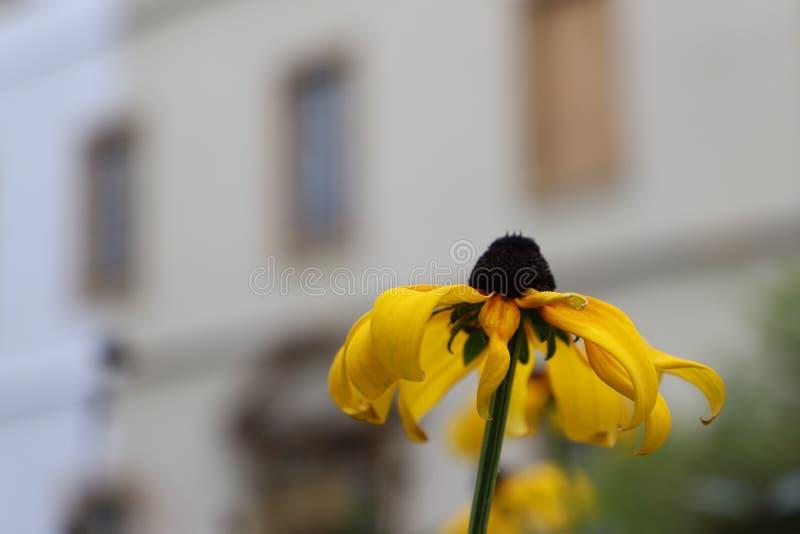 Jeden piękny czarnookiego Susan kwiat na rozmytym miasta tle zdjęcia royalty free