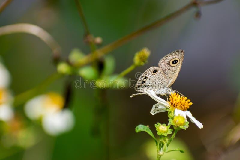 Jeden Piękny motyli zbieracki nektar na białym kwiacie fotografia royalty free