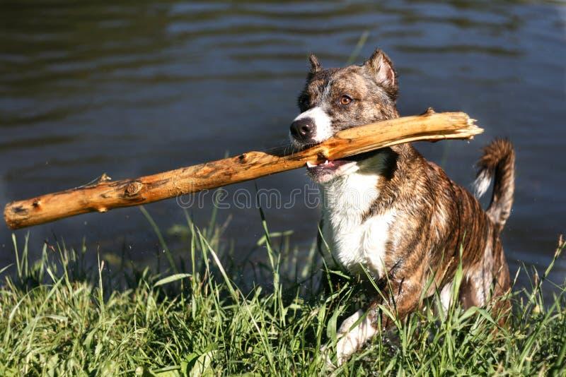 Jeden pies z drewno zapasem na usta Cropped ucho fotografia stock