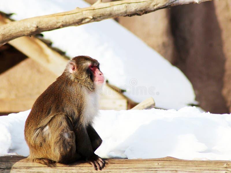Jeden pigmej małpa w zimie, przyroda fotografia stock