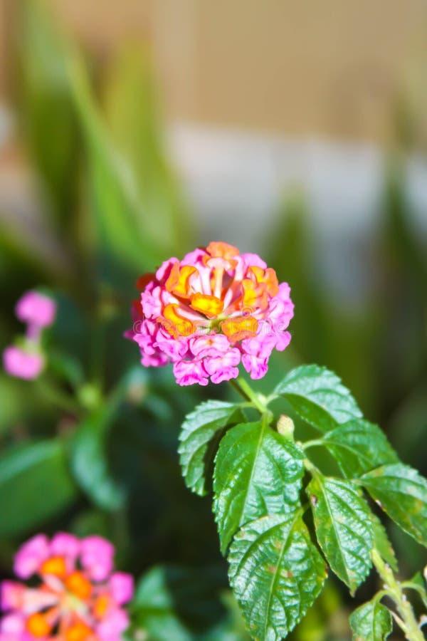 Jeden pinkky kwiaty zdjęcie royalty free