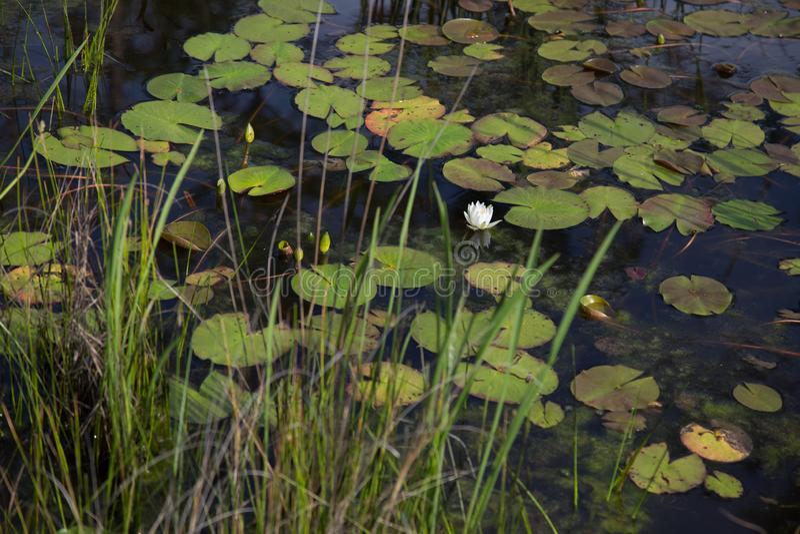 Jeden pojedynczy bielu waterlily rosnąć dziki w naturalnej zmrok wodzie z leluj płochami w przedpolu i ochraniaczami obrazy royalty free