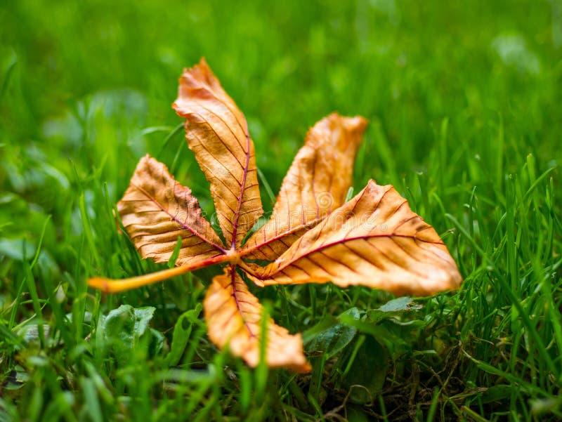 Jeden pojedynczy brown wysuszony liść na zielonej trawie w jesieni zdjęcie royalty free