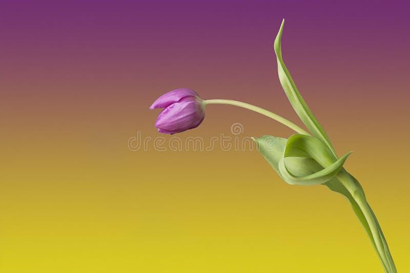 Jeden pojedynczy tulipa kwiat przeciw coloured tłu Patrzejący jak osoby powitanie someone i robić łękowi obraz royalty free