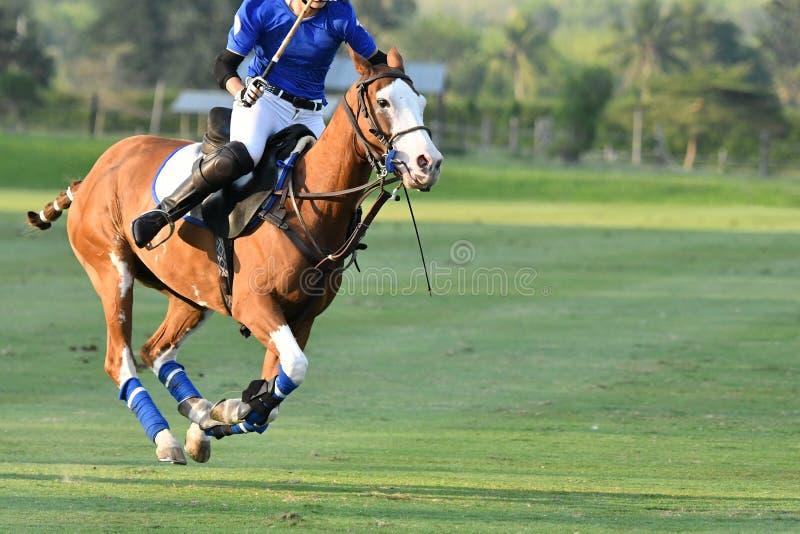 Jeden polo gracza Końska jazda, akcja Koński polo gracz i koniki w dopasowaniu, zdjęcie stock