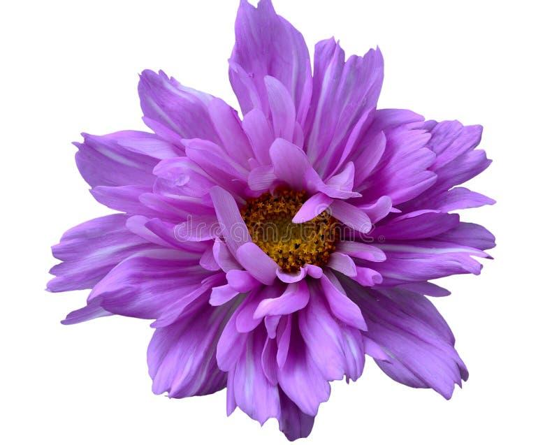 Jeden różowy kosmosu kwiat fotografia royalty free