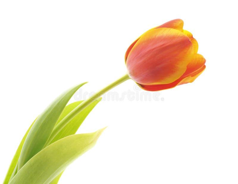 Jeden r??owy tulipan fotografia stock