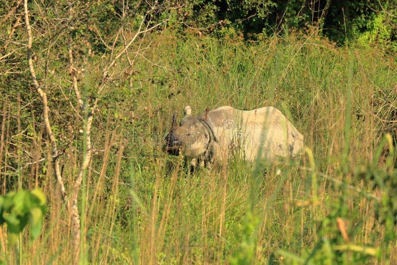 Jeden rogata nosorożec w Chitwan parku narodowym, Nepal zdjęcie royalty free