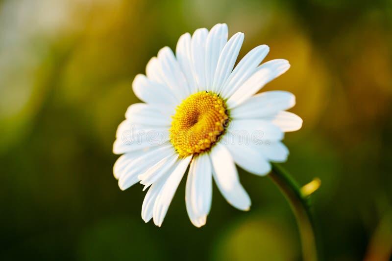 Jeden rumianek kwitnie na łące Zakończenie Fotografia dla tło, desktop, pokrywa zdjęcie stock