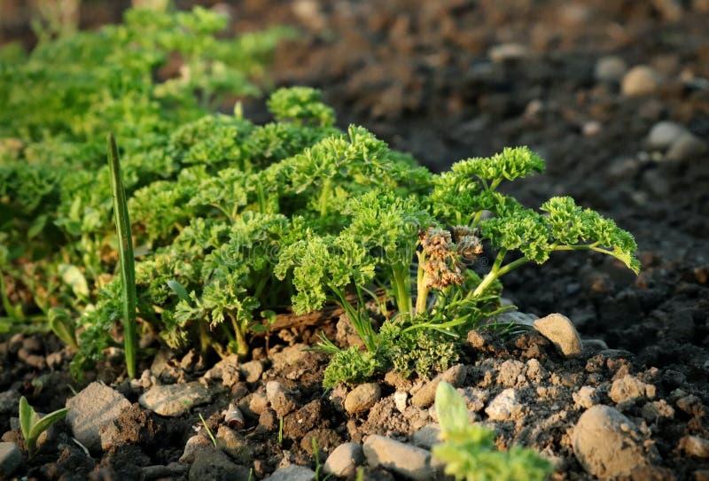 Jeden rząd pietruszka na nasz ogródzie dla tworzy życiorys garnirunek Kamienie, glina, ziemia lub trzony rośliny, fotografia stock