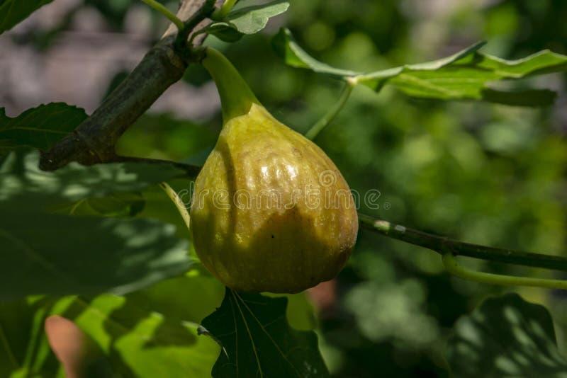 Jeden słodka figi jagoda r na gałąź pojęcia odosobniony natury biel obraz royalty free