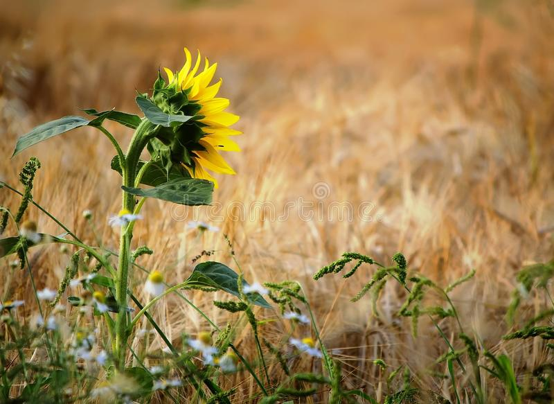 Jeden słonecznik w kukurydzanym polu obraz stock