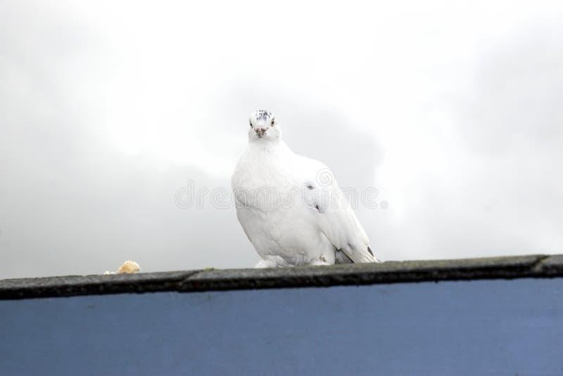 Jeden samotna biel gołąbka zdjęcia stock