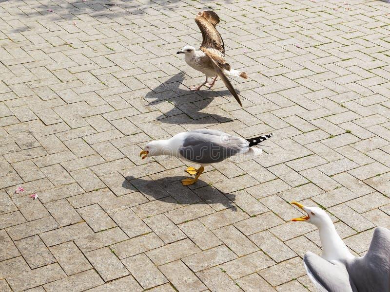 Jeden seagull dostać niektóre jedzenie od peolple Dwa więcej seagulls latali ja i chcą jedzenie zbyt Drzewni seagulls na ulicie n fotografia stock