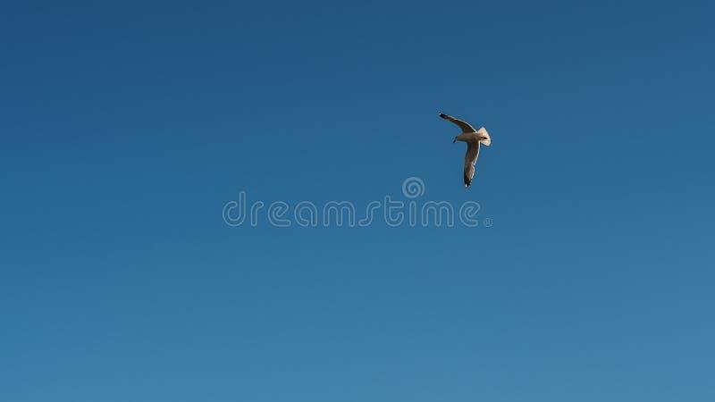 Jeden Seagull na frontowym niebieskim niebie zdjęcia stock