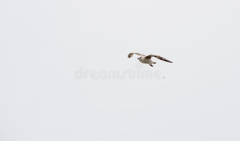 jeden Seagulls latającego ptaka Seagull nadmorski zwierzęca komarnica zdjęcia royalty free