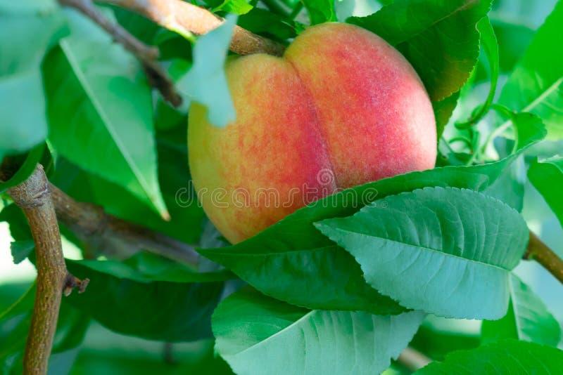Jeden soczysty, dojrzała brzoskwinia na drzewie, w górę fotografia royalty free