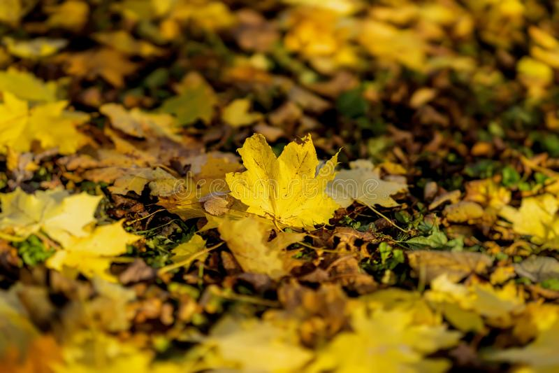 Jeden spadać jesień liść klonowy na tle ziemia zakrywająca z różnorodność inny opuszcza Sezony, nostalgiczny obrazy royalty free