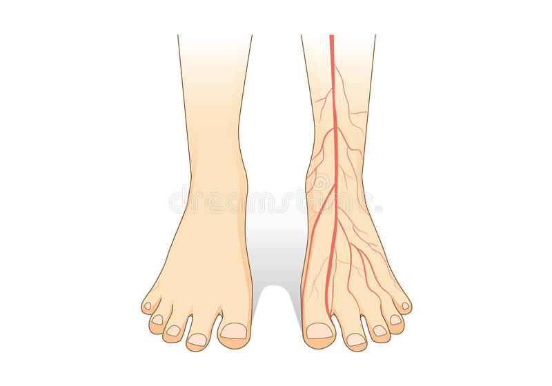 Jeden stopa pokazuje czerwonego naczynie krwionośne na skórze royalty ilustracja