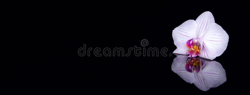 Jeden storczykowy kwiat z wod kroplami i odbicie na czarnym bac fotografia stock