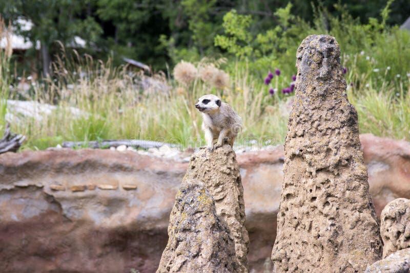 Jeden surikata na strażniku na skale zdjęcia royalty free