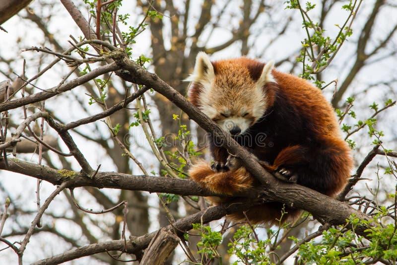 Jeden sypialna Czerwona panda zdjęcie royalty free
