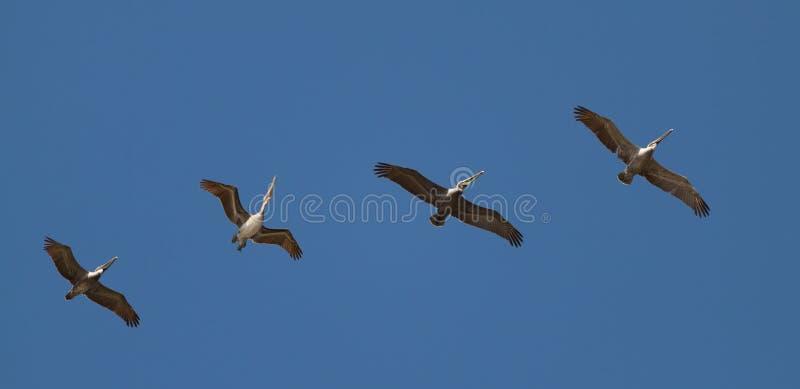 Jeden tanczy z rzędu - pelikana Costa rica zdjęcie stock