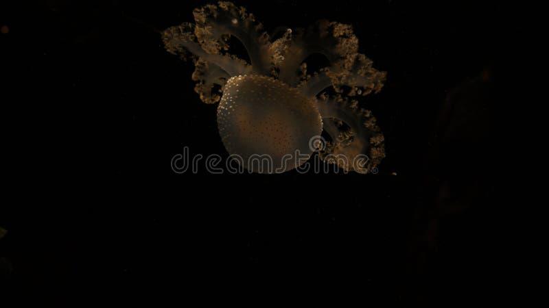 Jeden tylko żółty przejrzysty jellyfish w ciemnego czerni codl głębokiej wodzie morze W Aqurium fotografia stock