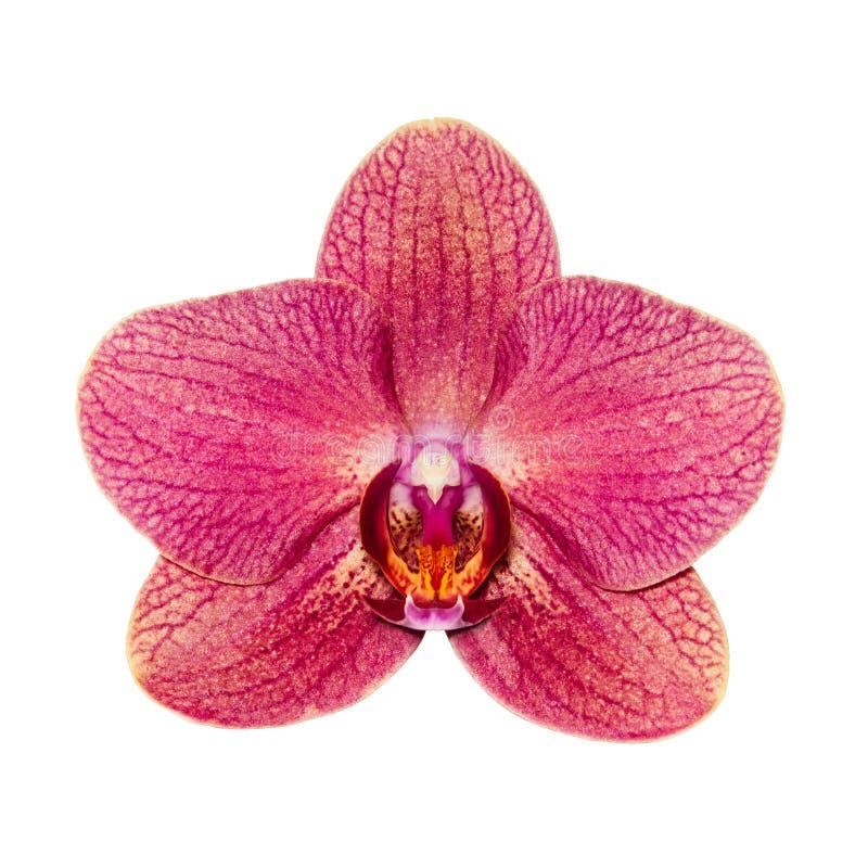 Jeden wałkoni się orchidei odizolowywającej na białym tle w górę egzotycznego kwiatu podczas kwiecenia - wizerunek obraz royalty free