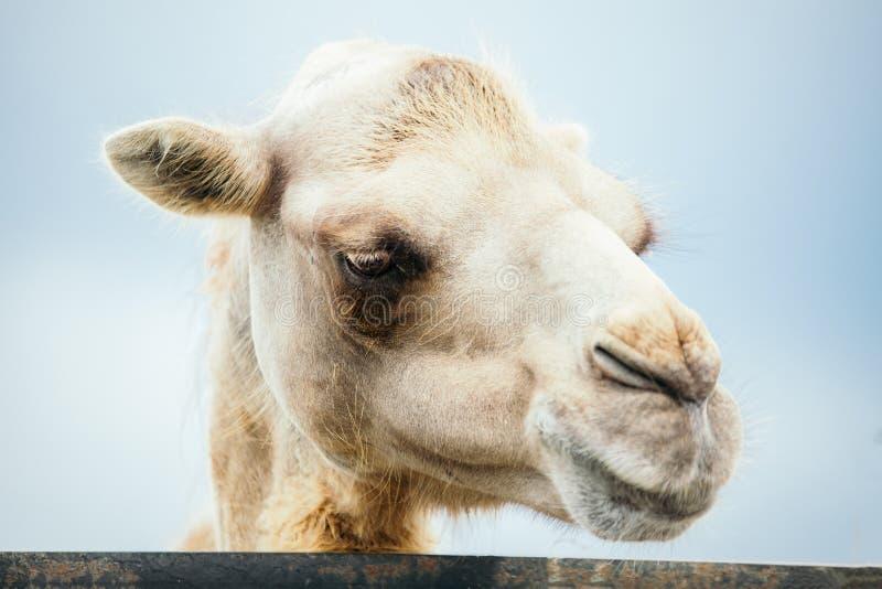 Jeden wielbłądzi portret fotografia stock