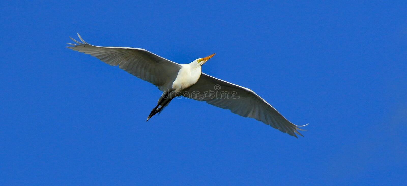 Jeden Wielki egret szybownictwo z niebieskim niebem jako tło fotografia stock