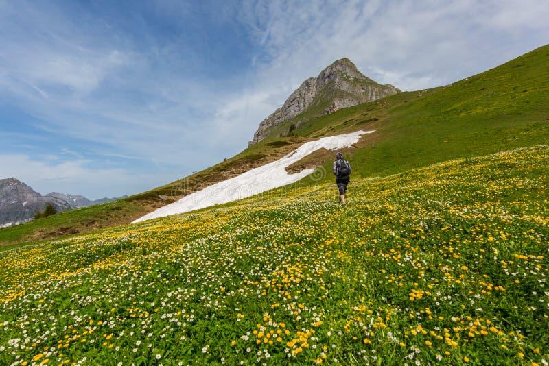 Jeden wycieczkowicz w kwiatu polu na sposobie osiągać szczyt Fronalpstock w Swi zdjęcia royalty free