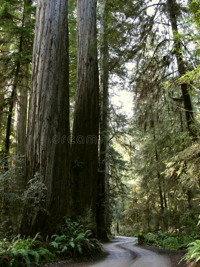 Jedidiah Smith Redwoods, Californië - December 17 2017: Oud Kustbos stock afbeelding