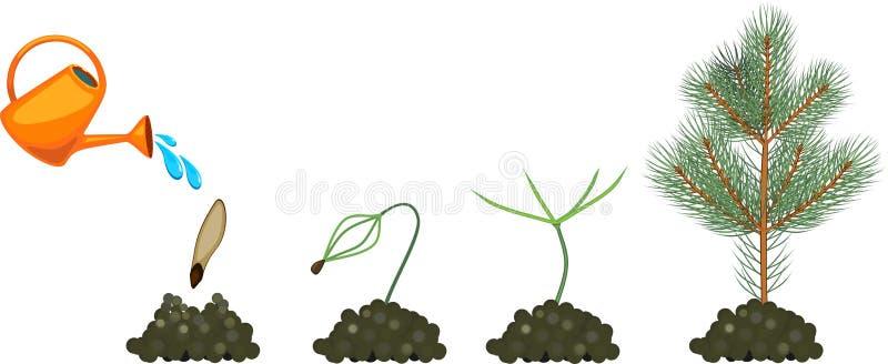 Jedlina etap życia Rośliny growin od ziarna młoda jedlina ilustracja wektor