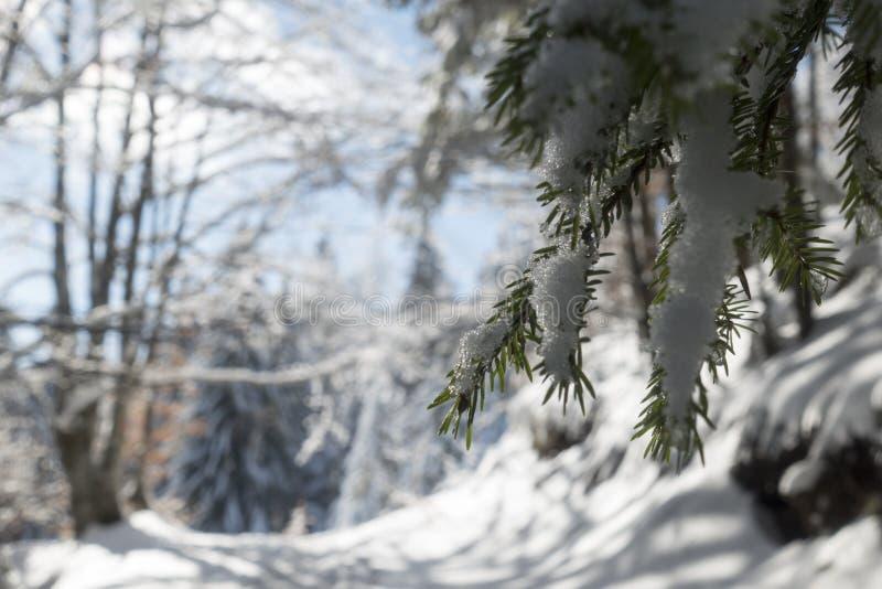 Jedlinowa gałąź w górę zakrywający z śniegiem w zima dniu zdjęcia stock