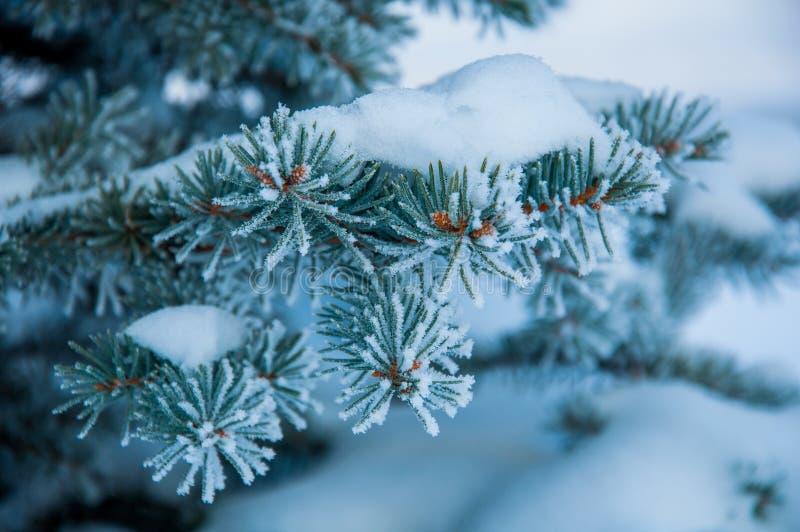 Jedlinowa gałąź zakrywająca śniegiem zdjęcie stock