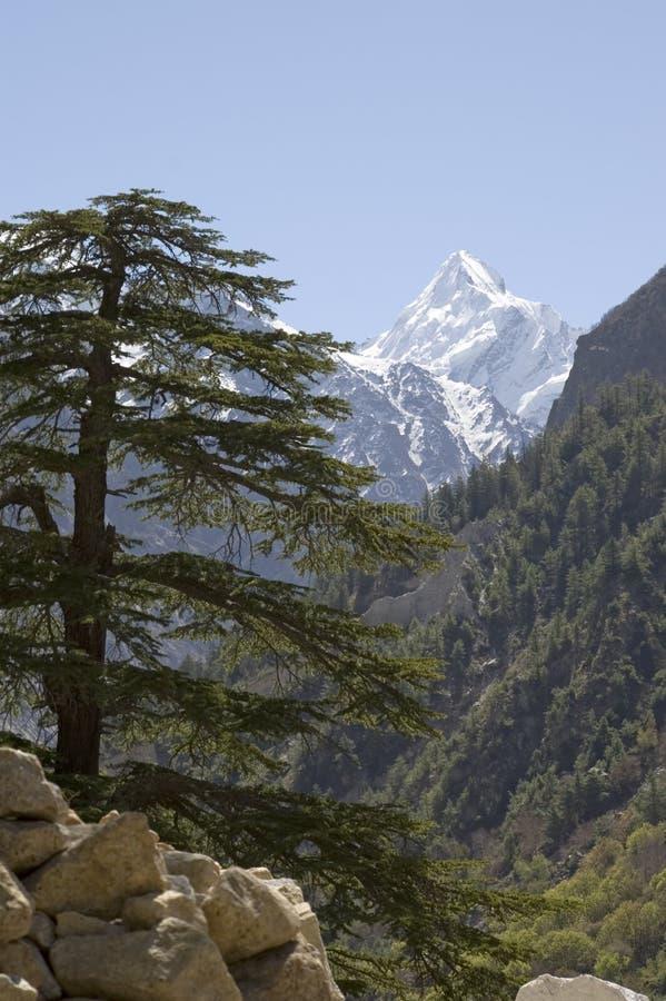 jedlinowa mount himalajska zdjęcie stock