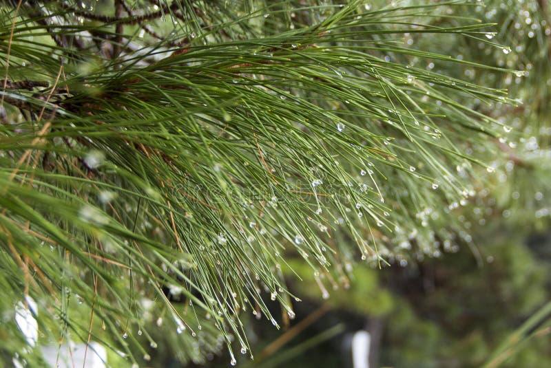 Jedlinowe gałąź mokre po deszczu Raindrops na igłach Zakończenie zdjęcie stock
