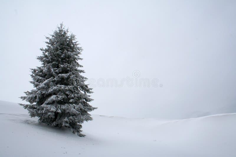 jedlinowego białe drzewa obrazy royalty free